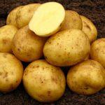 фото картошки Нандина