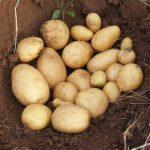 фото картошки Ноктюрн