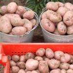фото картошки с красной кожурой