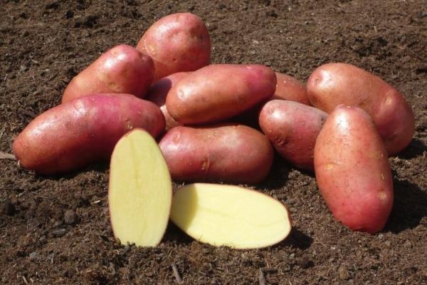 фото красного картофеля с желтой мякотью