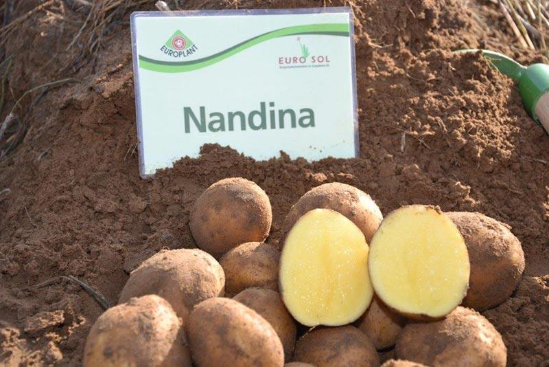 фото сорта картофеля Нандина