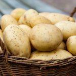 фото картофеля с желтой мякотью