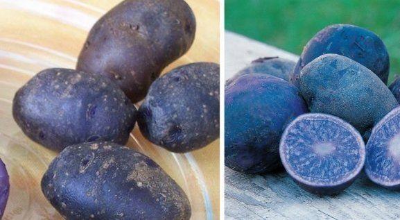 фото картошки All Blue