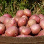 фото картошки Олимп