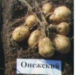 фото онежской картошки