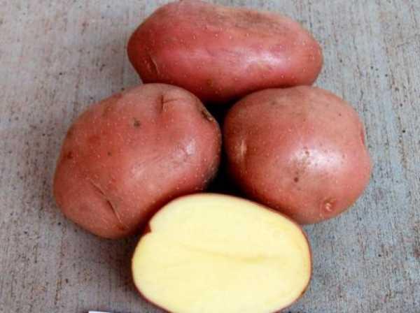фото сорта картофеля Олимп