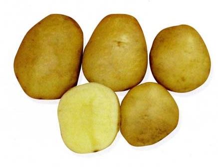 фото сорта картофеля онежский