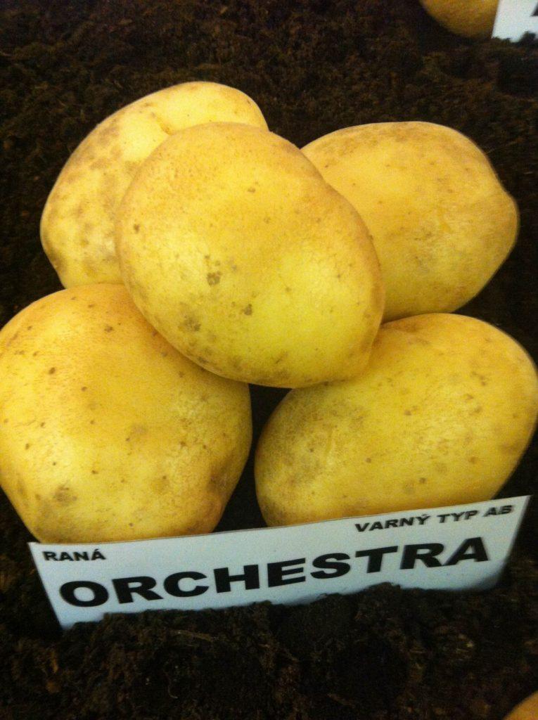 фото сорта картофеля оркестра