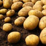 фото картошки памяти Рочагева