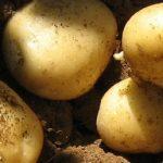 фото картошки Пироль