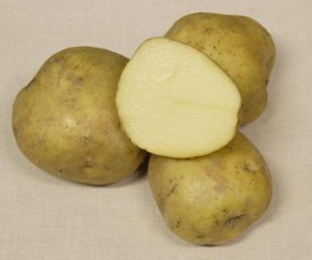 фото сорта картофеля памяти Осиповой
