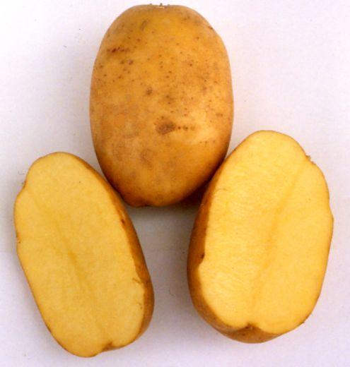 фото сорта картофеля памяти Рогачева