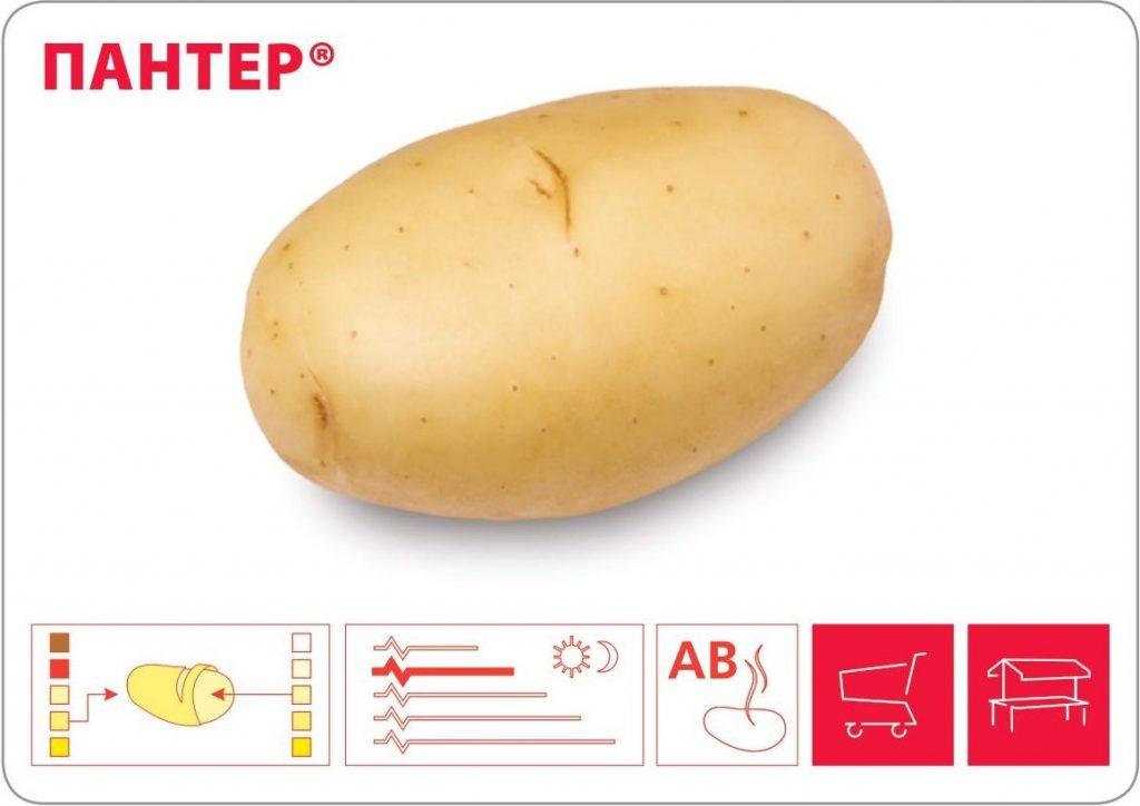 фото сорта картофеля Пантер