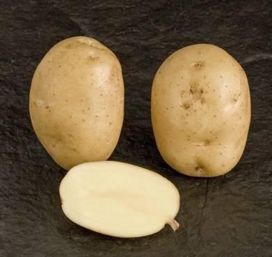 фото сорта картофеля пензенская скороспелка