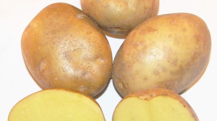 фото сорта картофеля Пироль