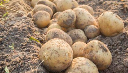 фото картошки Пушкинец