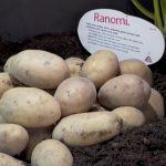 фото картошки раноми