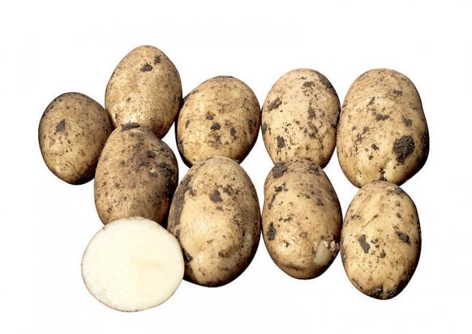 фото сорта картофеля Приобский