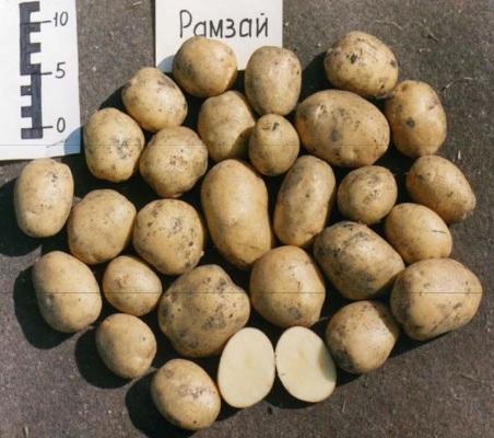 фото сорта картофеля Рамзай