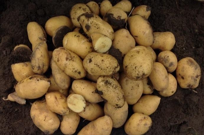 фото сорта картофеля Раноми