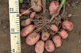 фото картошки русская красавица