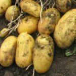 фото картошки Салин