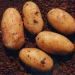фото картошки укама