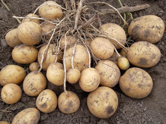 фото сорта картофеля резерв