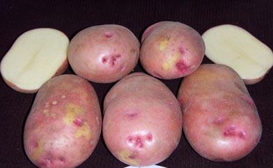 фото сорта картофеля русская красавица