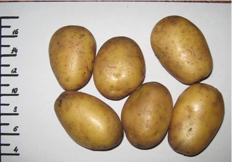 фото сорта картофеля русский сувенир