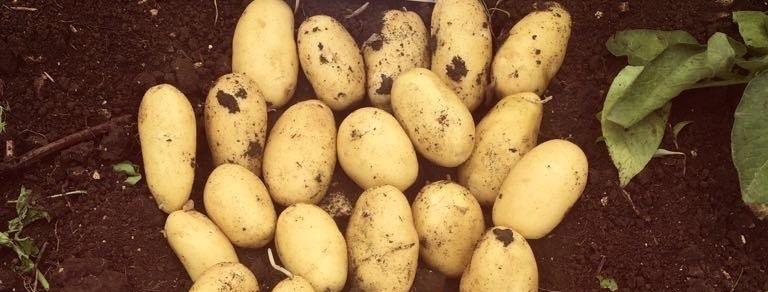 фото сорта картофеля салин