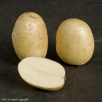 фото сорта картофеля саксон