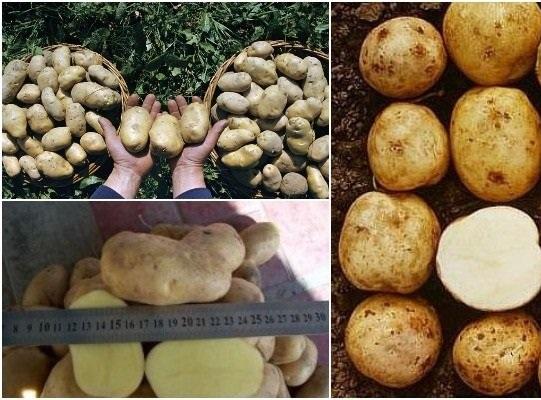 фото сорта картофеля Темп