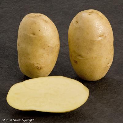 фото сорта картофеля ярла