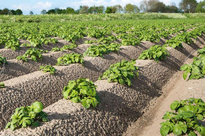фото выращивания картофеля по-голландски