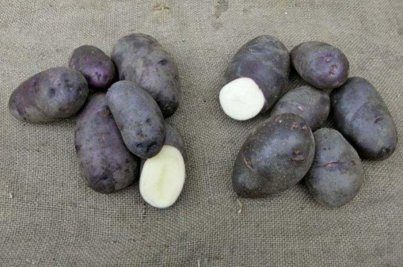 фото сорта картофеля черный принц