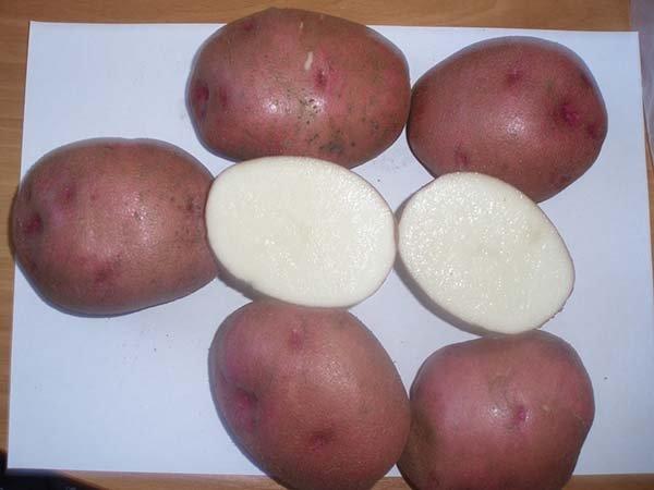 фото сорта картофеля самарский