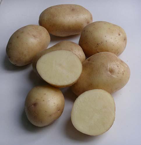 фото сорта картофеля Сентябрь