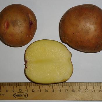 фото сорта картофеля смоляночка