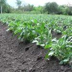 как развивается картошка