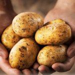фото картошки съерра