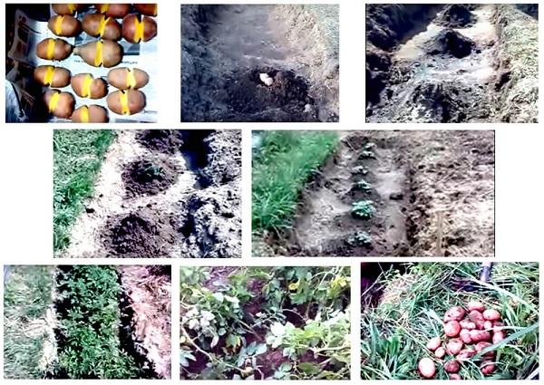 фото выращивания картошки по китайски