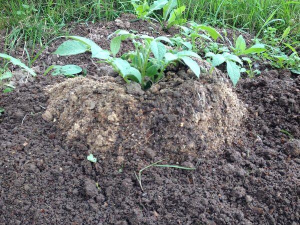 фото посадки картофеля по-китайски