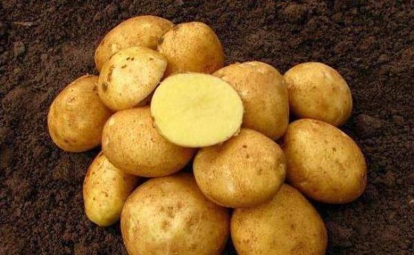 фото сорта картофеля Солнечный