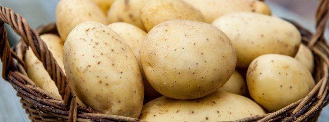 фото сорта картофеля солнышко