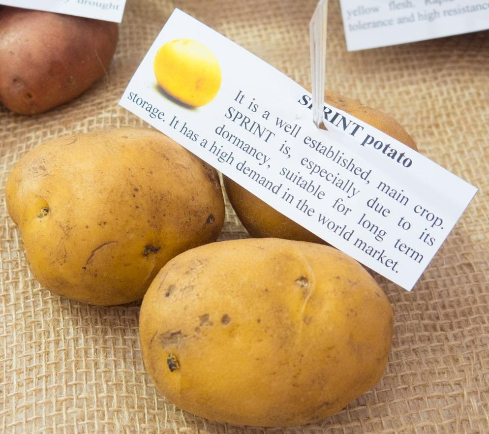 фото сорта картофеля спринт
