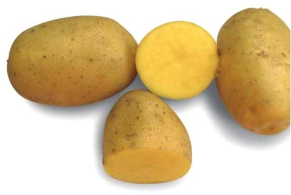 фото сорта картофеля Таймер