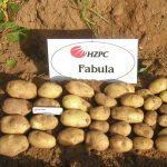 фото картошки фабула