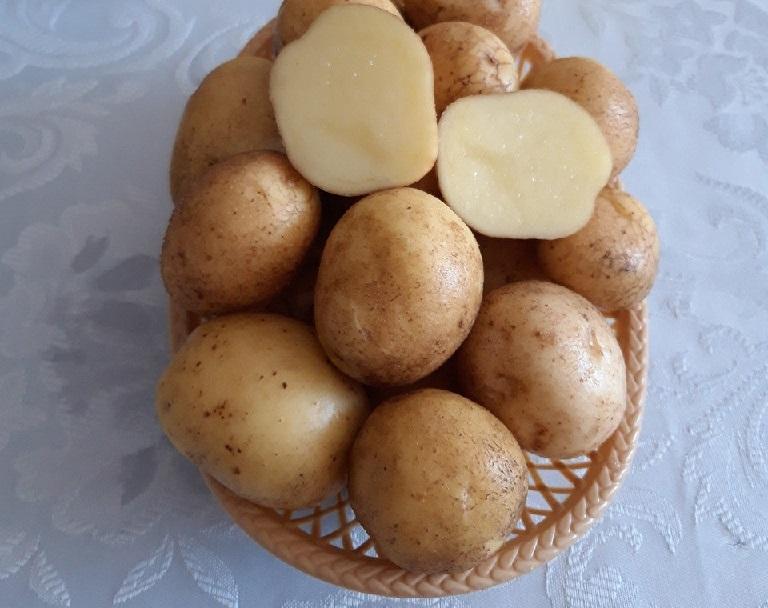 фото сорта картофеля Факел