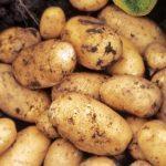 фото уральской ранней картошки